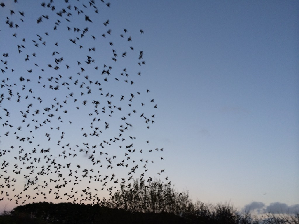 Starlings going home to roost